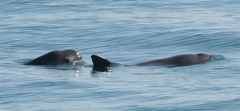 Con delfines adiestrados para su localización y la creación de un espacio delimitado que las proteja de sus amenazas, las autoridades buscan salvar los últimos 30 ejemplares que se estima quedan de la vaquita marina, un mamífero acuático endémico de aguas mexicanas. EFE/SEMARNAT/SOLO USO EDITORIAL