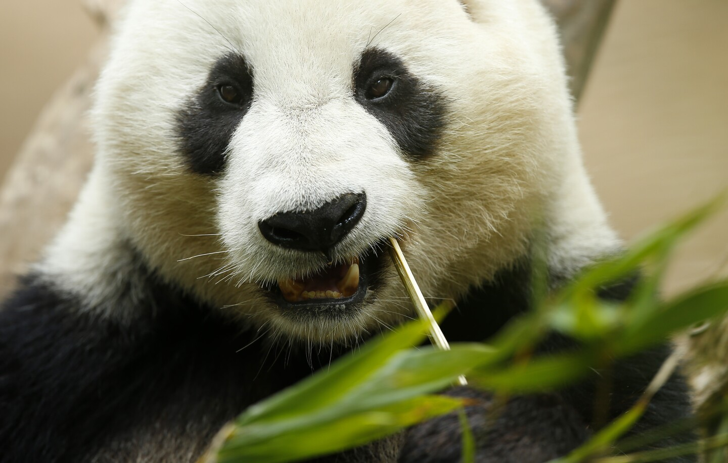 Panda Xiao Liwu, 6, eats bamboo in his enclosure at the San Diego Zoo on April 16, 2019. The last public day to see Xiao Liwu and his mom Bai Yun is April 29th, before they head back to China. (Photo by K.C. Alfred/The San Diego Union-Tribune)