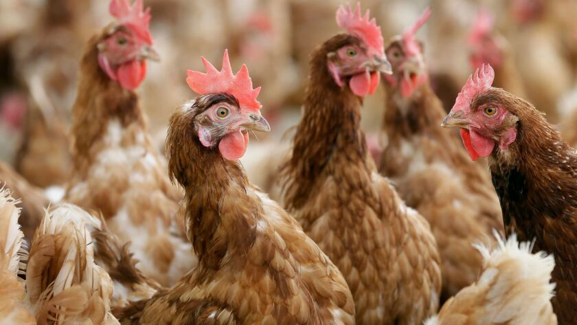 Cage-free egg-laying chickens stand in a fenced pasture on an organic farm in Iowa in 2015.