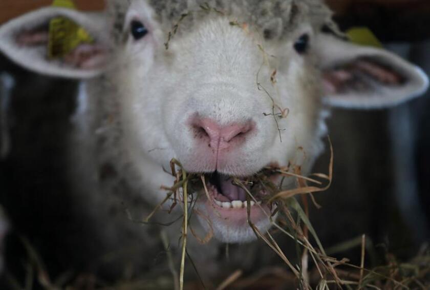 Las fuerzas de seguridad en Puerto Rico encontraron en una finca en Aguada (noroeste), nueve ovejas mutiladas por otro animal. EFE/Archivo