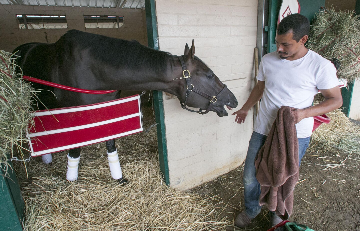 "Groom Raul Aguilar plays with ""One Bad Boy"" one of the six horses that he is charged with taking care of at the Del Mar racetrack for trainer Richard Baltas on Wednesday, August 21, 2019."