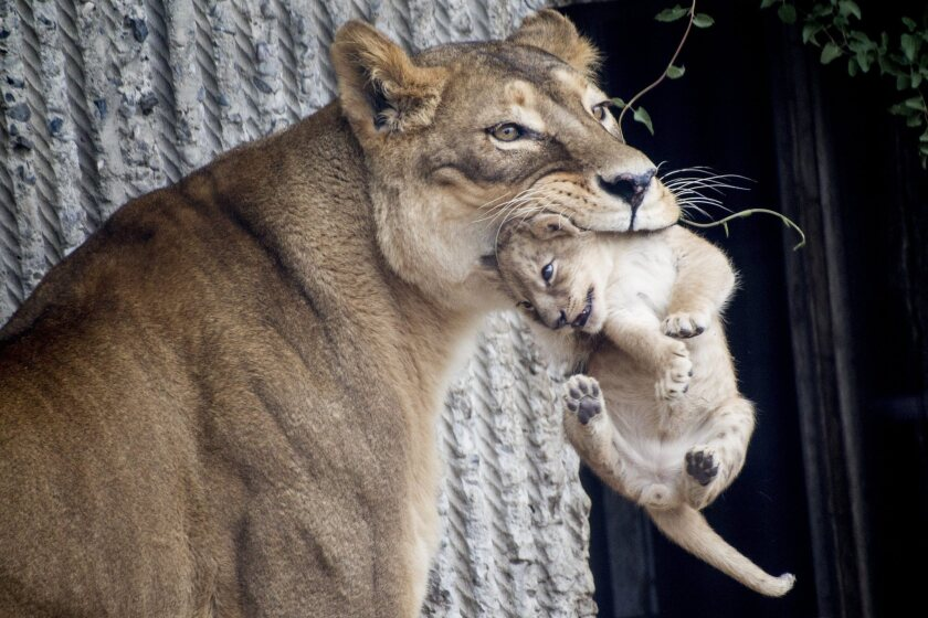 A mother and a new member of the pride enter the Copenhagen Zoo's lion enclosure.