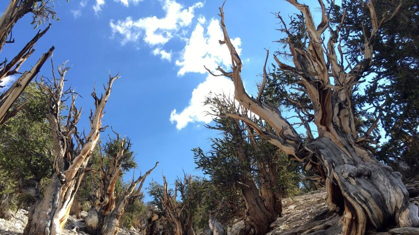 Bristlecone pine trees in the White Mountains in east of Bishop, Calif. on July 11.