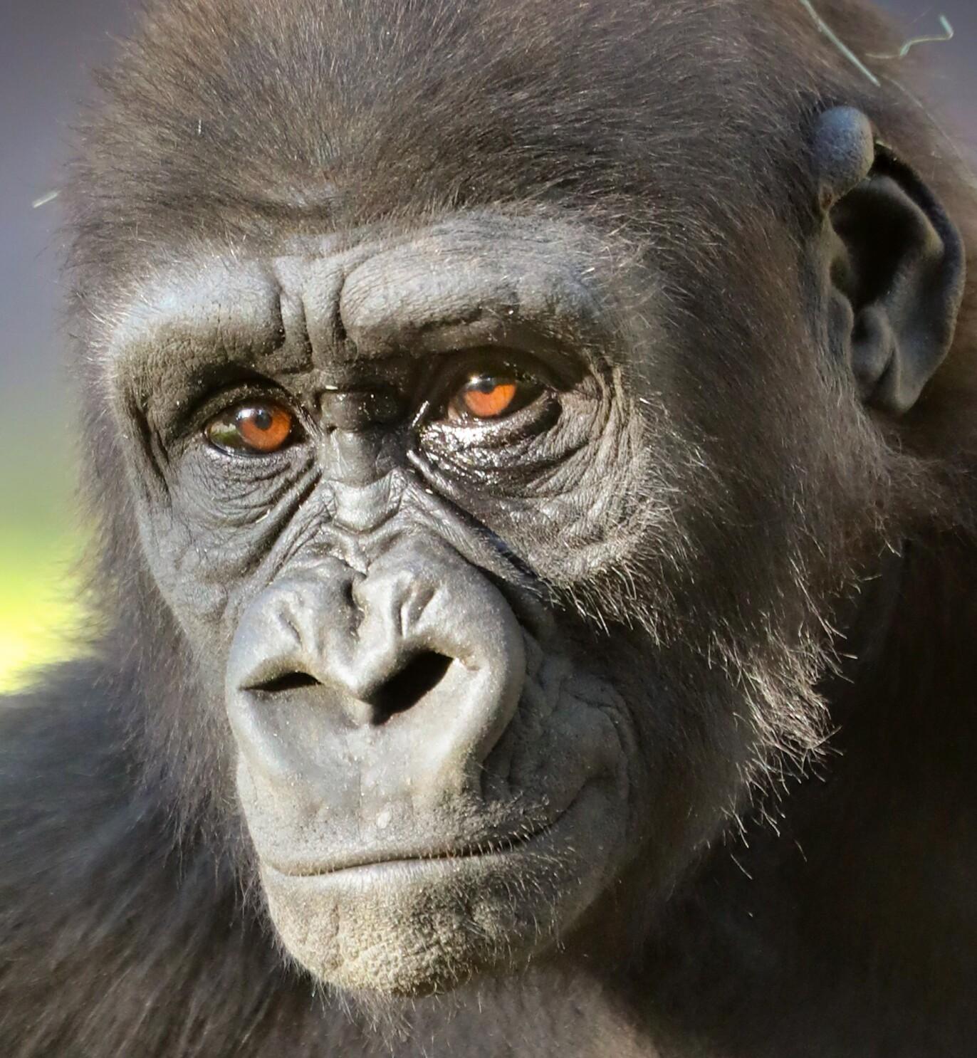 Leslie, a Safari Park gorilla, undergoes cataract surgery