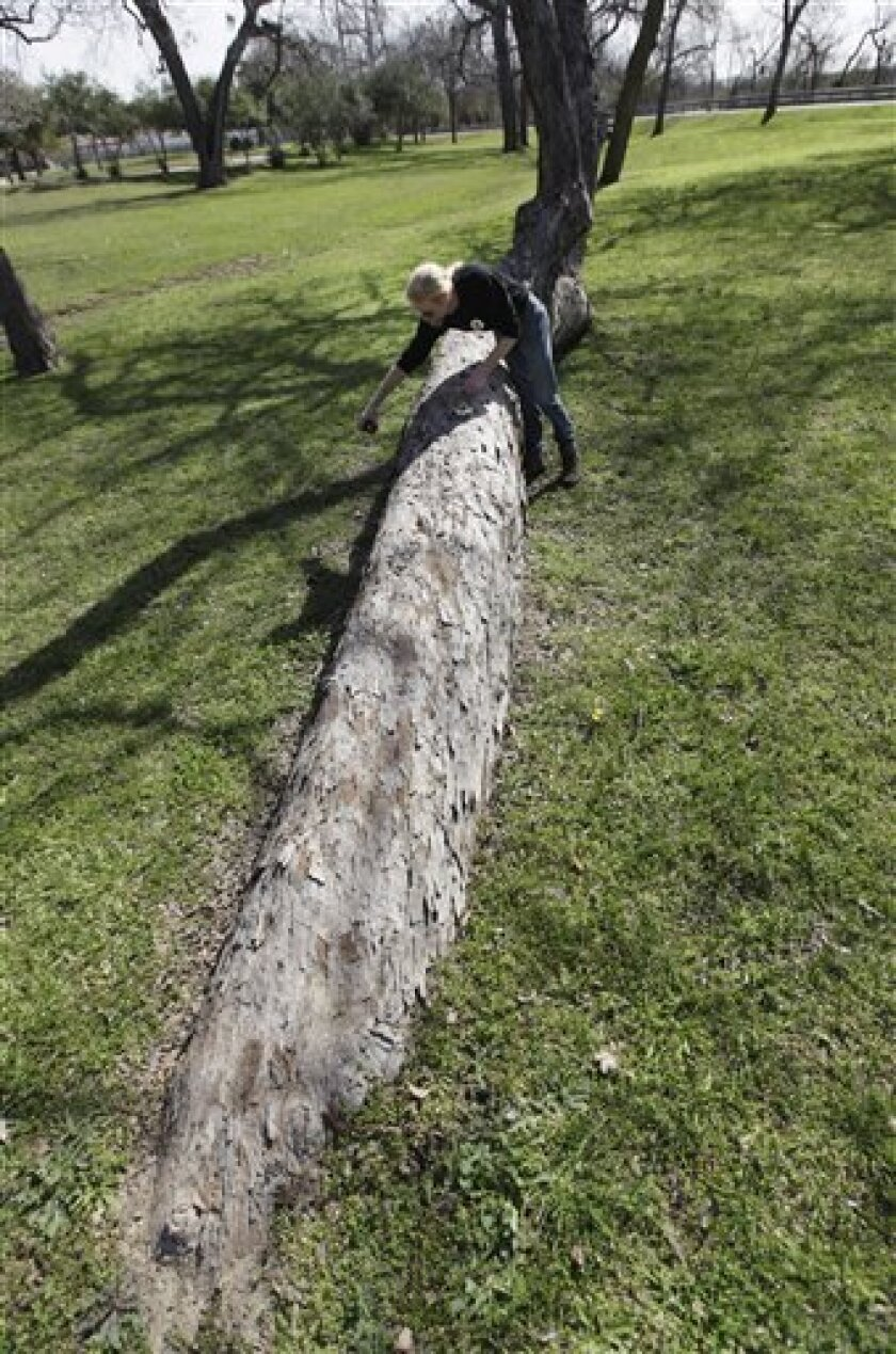 In this Feb. 23, 2012 photo, arborist Steve Houser measures the diameter of a Native American marker tree tree in Dallas.   The pecan tree, more than 300 years old, stands out from the others in a forested area of Dallas, a 25-foot segment of its trunk slightly bowed and running almost parallel to