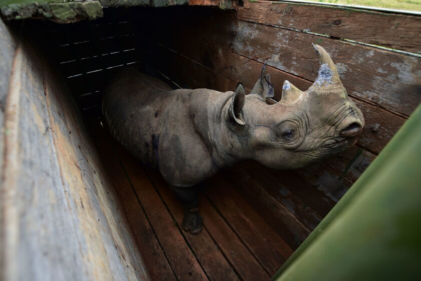 A female black rhinoceros is penned before being moved to Nairobi National Park in 2018. A woman in Orange County was sentenced for selling black rhino horns to China and Vietnam.