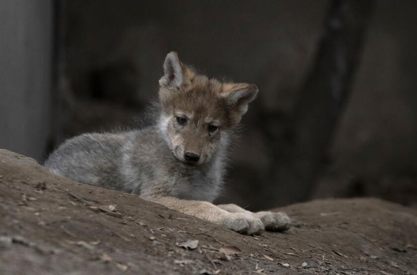 Un cachorro de lobo mexicano descansa en un recinto durante una presentación para los medios