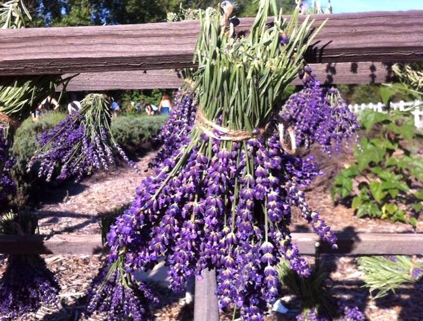 English lavender at Frog Creek Farm.