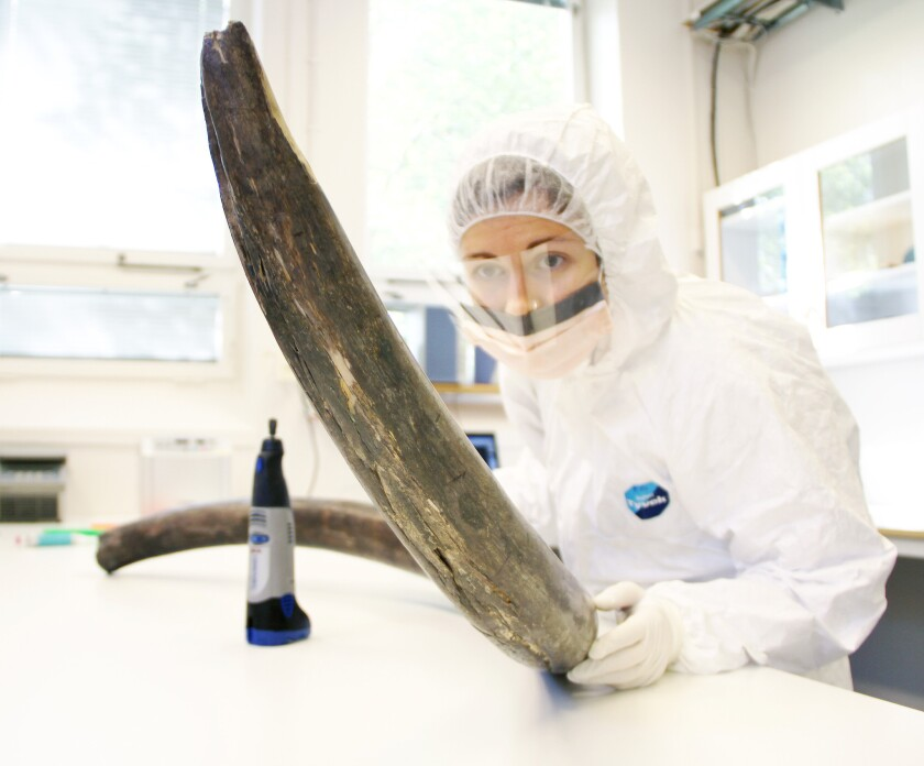 Biologist Eleftheria Palkopoulou examines a mammoth tusk. Sequencing the DNA of two woolly mammoths offers clues to the species' population history -- and could help scientists better understand extinction.