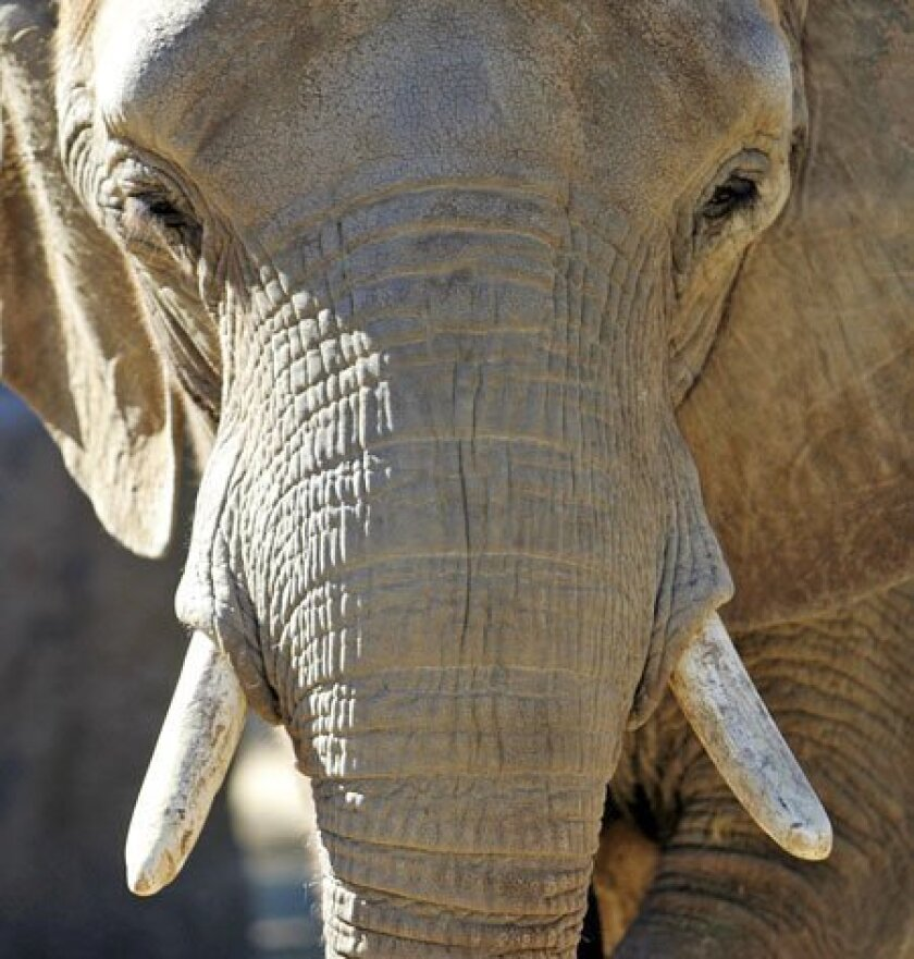 Tembo, an African elephant, is one of three elephants now housed at the San Diego Zoo. Five more will join them after a new enclosure is finished in June. (Nelvin C. Cepeda / Union-Tribune)