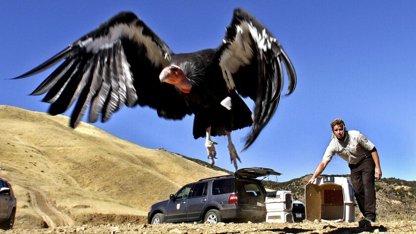 California condors released after treatment