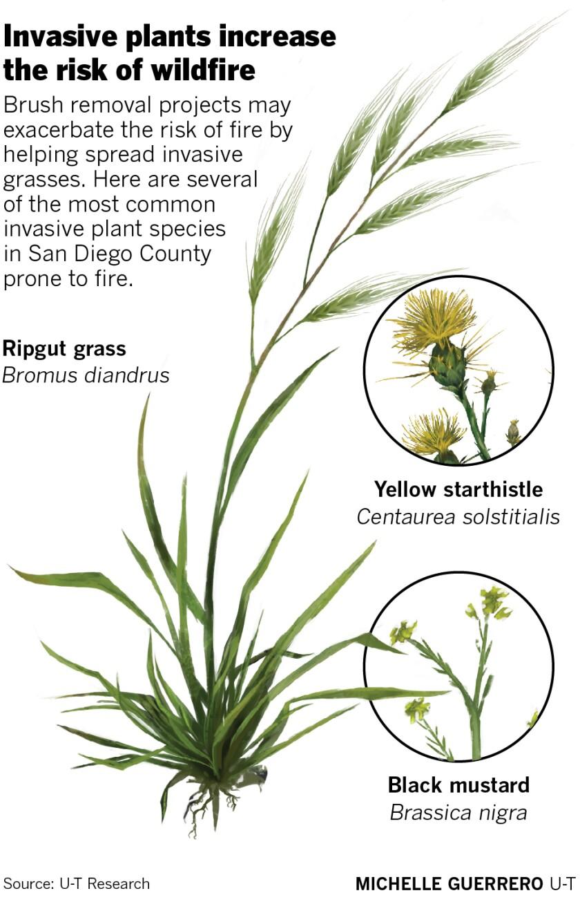 467525-w1-sd-me-invasive-grasses.jpg