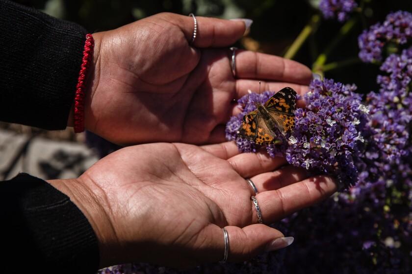 A butterfly is released onto purple flowers