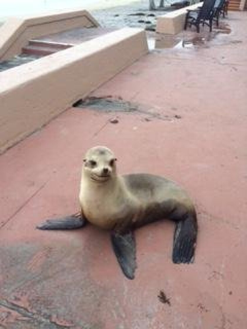 A sea lion parks himself on the La Jolla Beach & Tennis Club promenade.