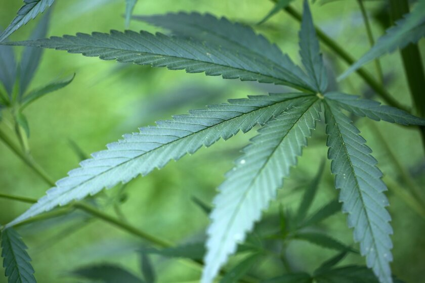 Ohio voters will decide in November whether to legalize marijuana for recreational use.