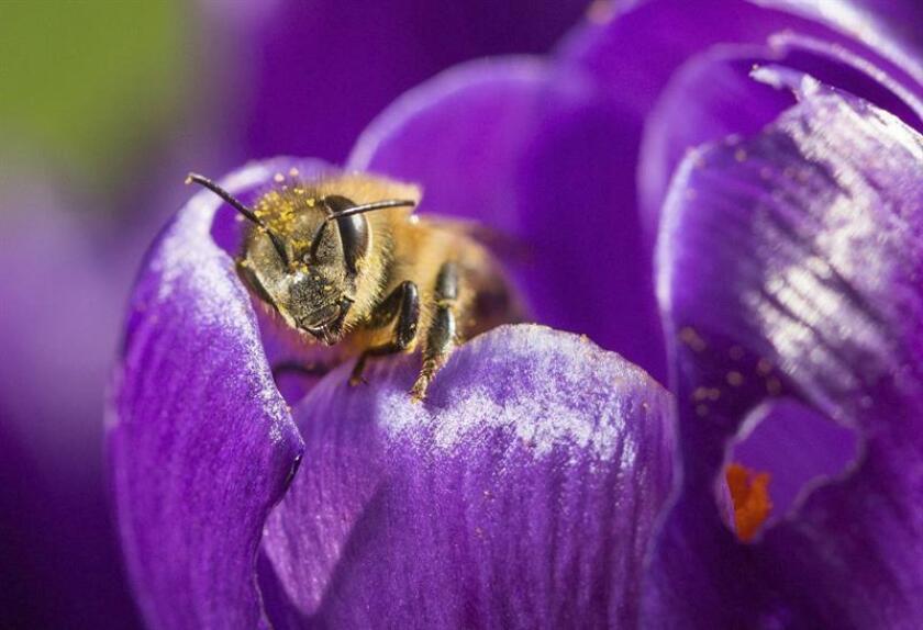 Una abeja recoge polen de una flor de azafrán. EFE/Archivo