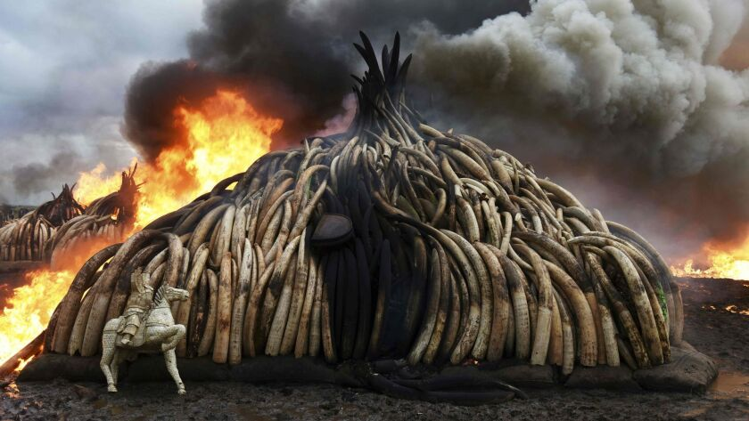 A stack of burning elephant tusks, ivory figurines and rhinoceros horns at the Nairobi National Park in April.
