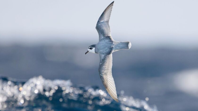 Plastic debris in the ocean gives off a sulfurous odor that many seabirds, such as this blue petrel, associate with food.