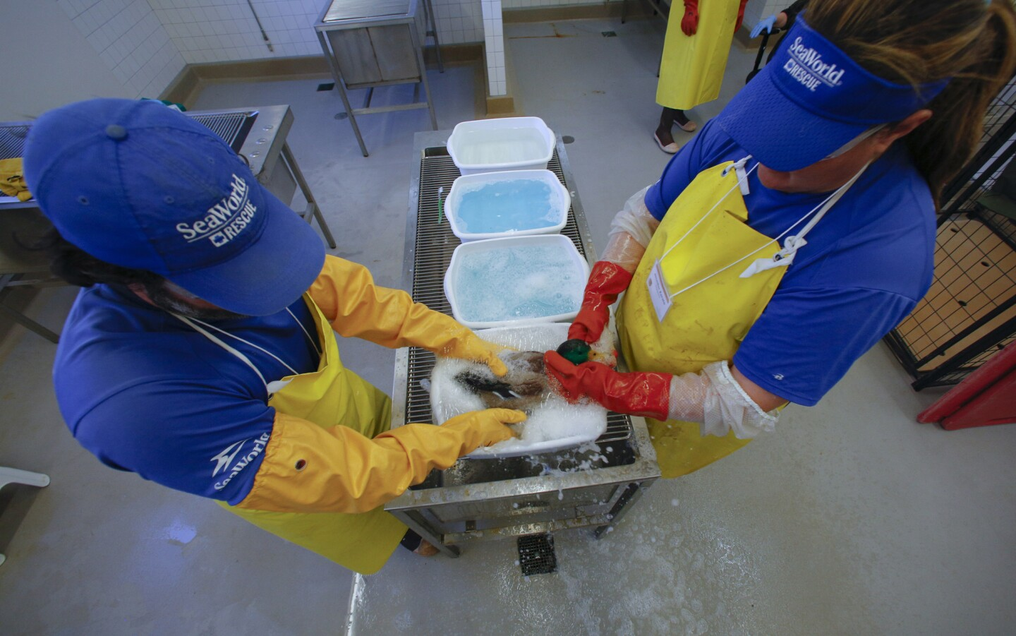 Volunteer first responders, wash the oil of a duct during a simulated cleaning. On Wednesday SeaWorld conducted an oiled wildlife exercise at SeaWorld.