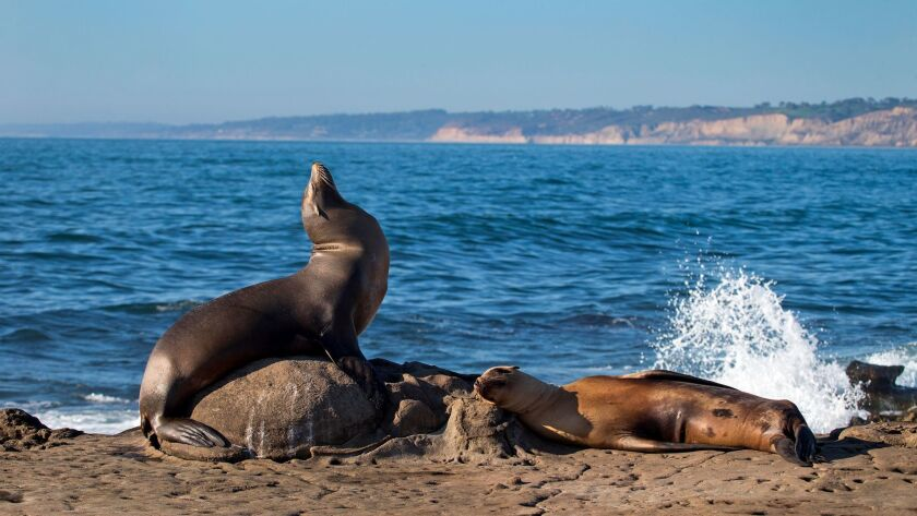 California sea lions and seals rest on rocks of the La Jolla Marine Reserve in 2016.