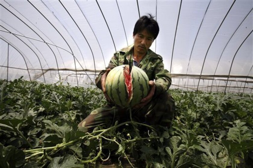 In this May 13, 2011 photo, a farmer shows a watermelon that burst in his rented greenhouse in Danyang city in eastern China's Jiangsu province. Watermelons have been bursting by the score in eastern China after farmers gave them overdoses of growth chemicals during wet weather, according to state
