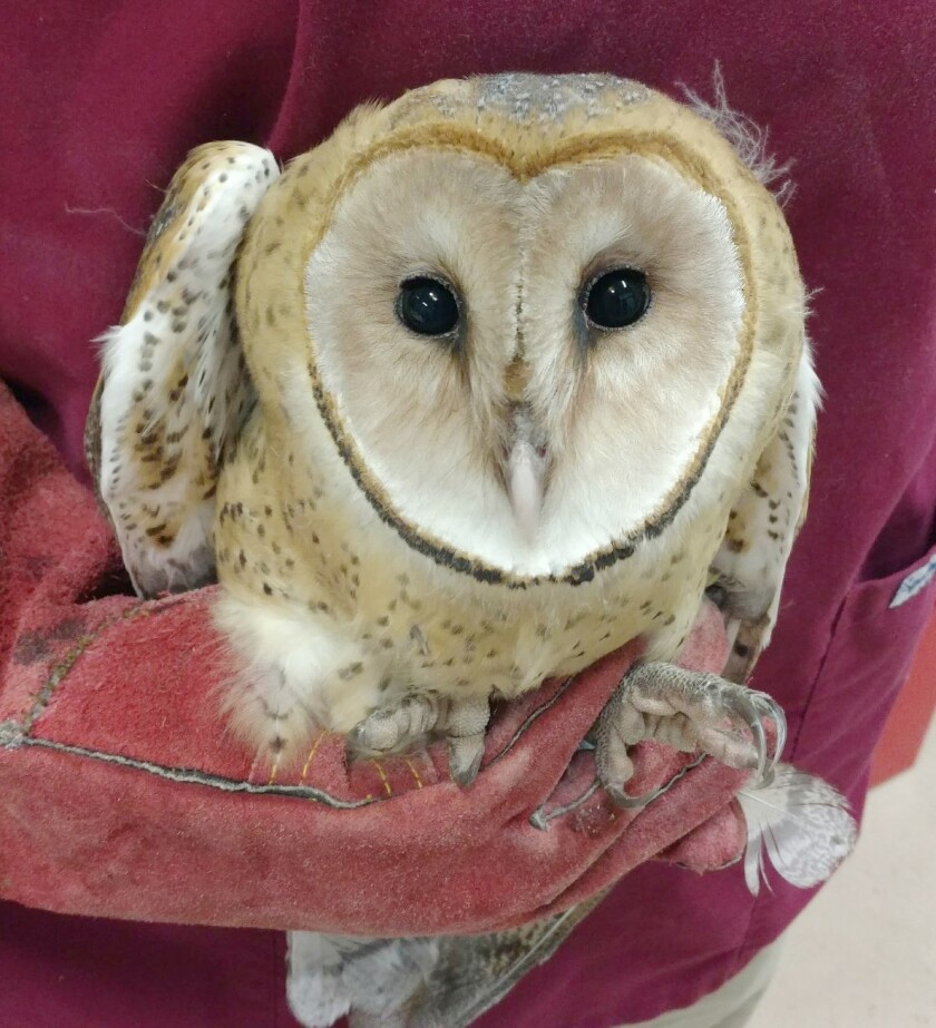 Barn Owl Patients 2019