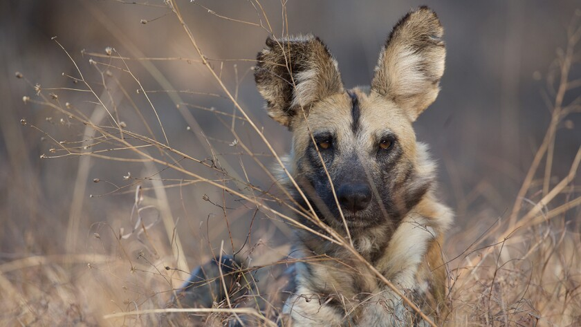 """Dogs in the Land of Lions,Follow a close-knit family of wild dogs growing up in a land ruled by lions. """"Nature"""" on PBS."""