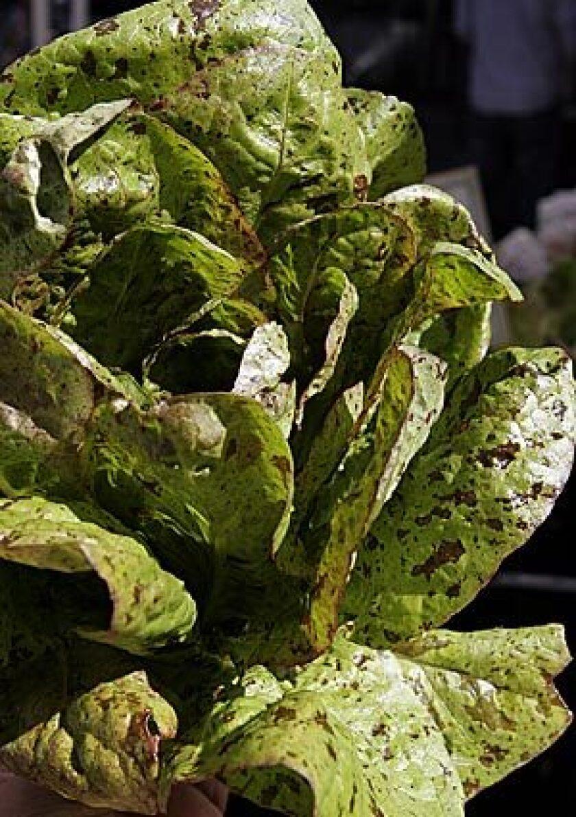 BEAUTY MARKS: Forellenschluss lettuce, a specialty lettuce, is recognizeable by its specks.