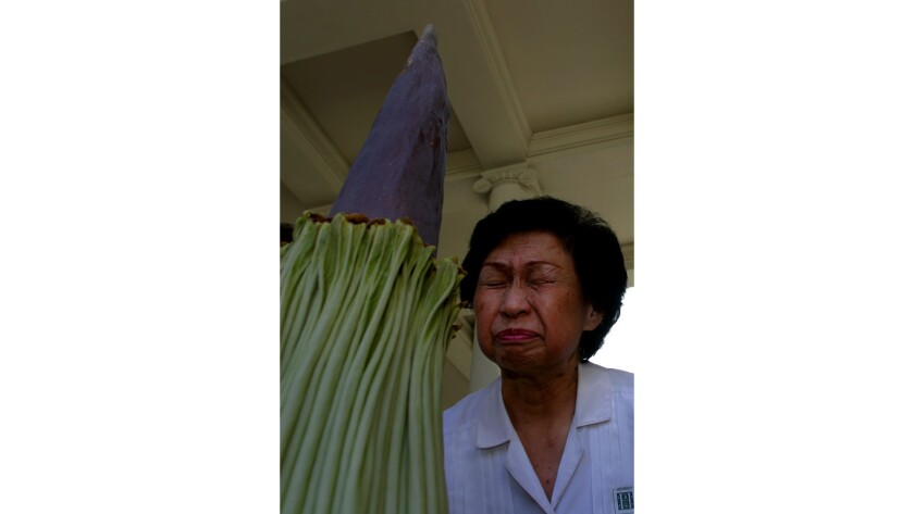 "Connie Louie smells the Amorphophallus titanum — ""corpse flower"" — at the Huntington Library gardens in August 2002."