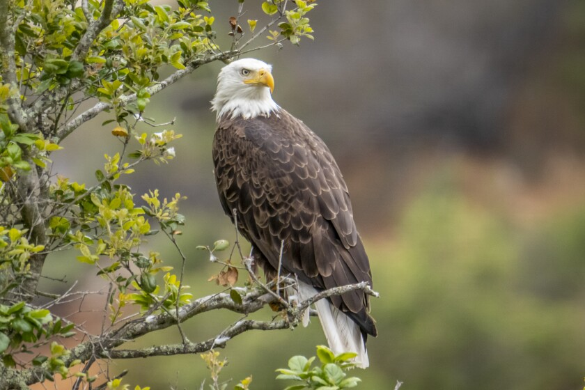 A bald eagle watches for a fish dinner while perched in a tree overlooking a local lake.