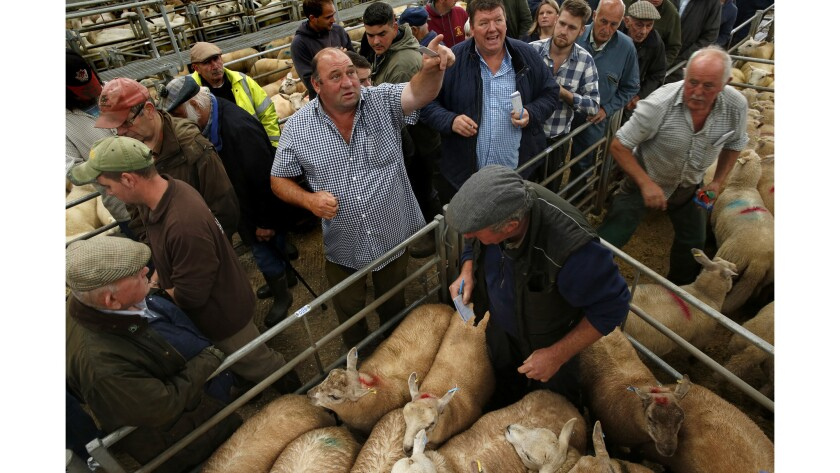Farmers bid at a livestock auction in Monmouthshire, Wales. Some 70% of farmers voted out, saying EU subsidies had gone down substantially in recent years.