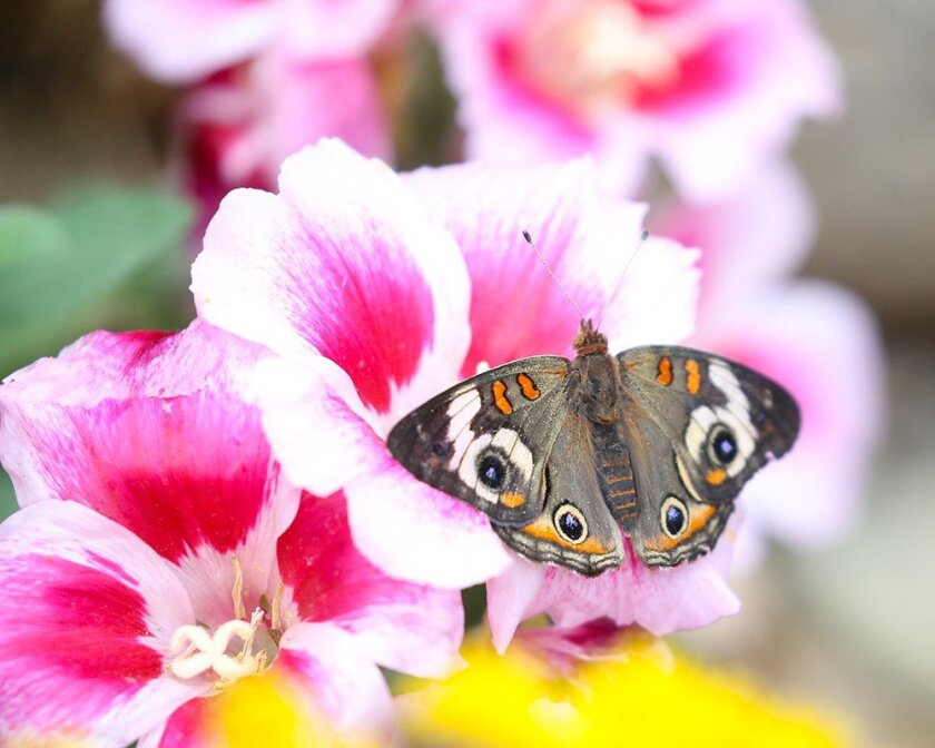 The Spring Garden & Butterfly Festival returns to the Water Conservation Garden in El Cajon on April 27.