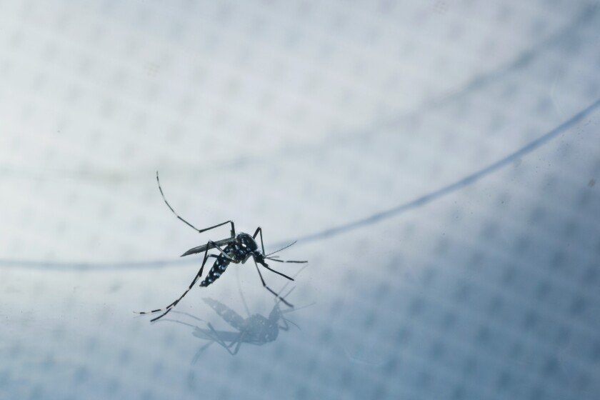 An adult Aedes albopictus, also known as the Asian tiger mosquito, is caught for a test sample from a residential backyard during a house call in Silver Lake.