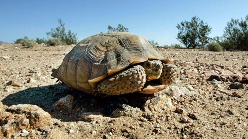 An endangered desert tortoise sits in the middle of an eastern Mojave Desert road near Ivanpah, Calif. on Sept. 3, 2008.
