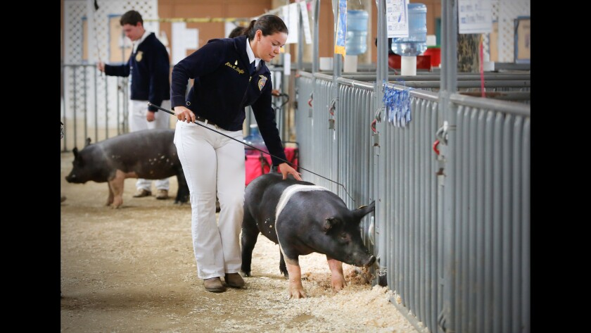San Diego County fair junior livestock show and auction.