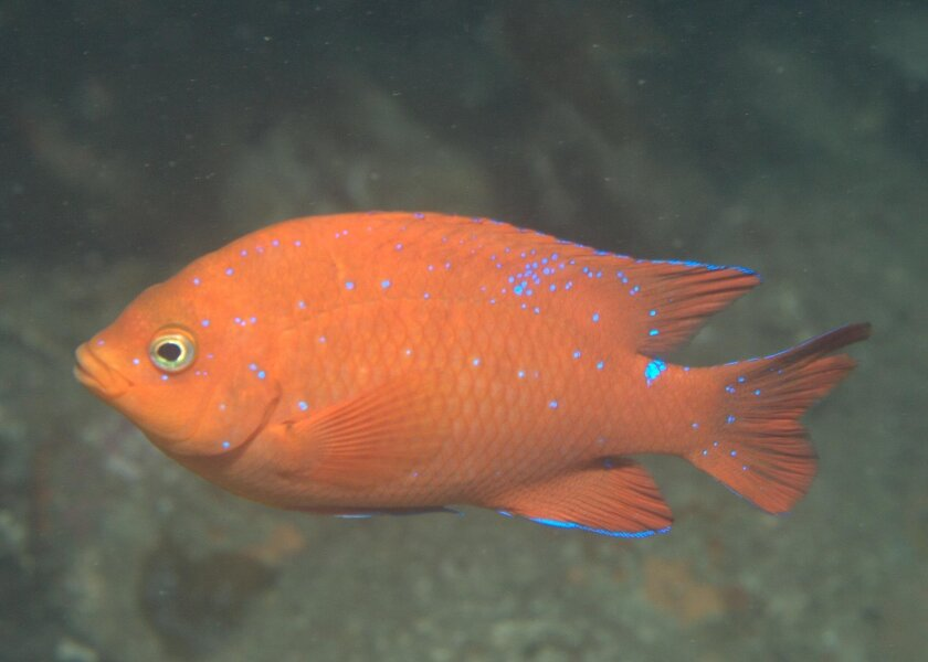 Garibaldi juveniles feature blue spots that disappear when they become adults.
