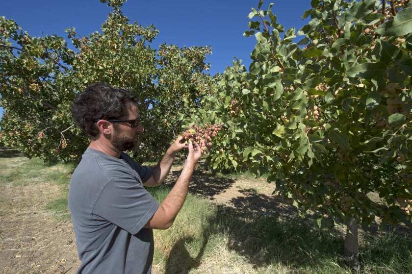 Tristan Zannon at the Santa Barbara Pistachio Co. orchard in Cuyama.