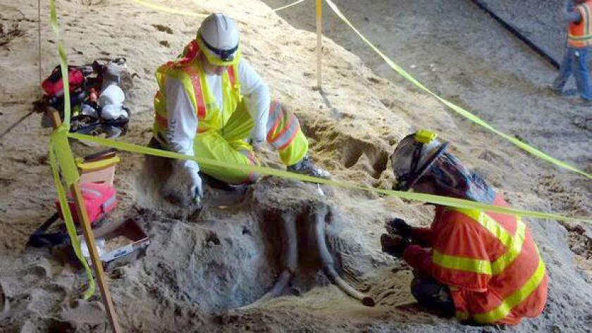 Trabajadores de la consultora paleontológica Cogstone exponen el cráneo fósil.