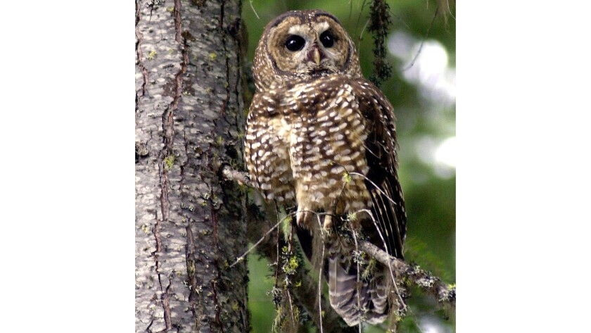 A northern spotted owl sits in a tree in the Deschutes National Forest near Camp Sherman, Ore.