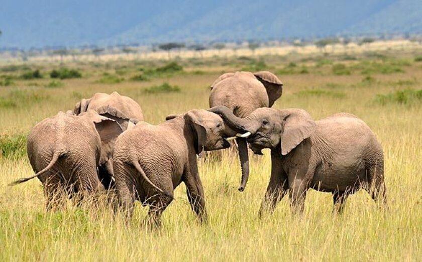 African elephants at play at the Masai Mara game reserve in Kenya.