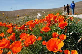 Visitors walk the trail as the fields are turning golden in the Antelope Valley California Poppy Reserve.