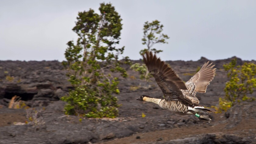 A nene in flight over hardened lava at Hawaii Volcanoes National Park.
