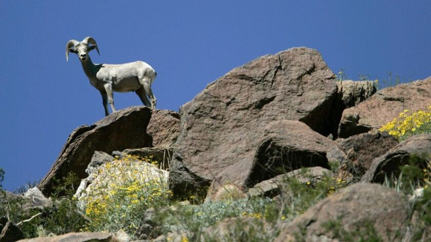 The peninsula bighorn sheep population has rebounded nicely since 1998, when it was listed as an endangered species.
