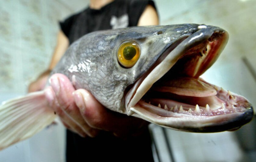 A worker at the Khai Seng fish farm in Singapore displays a snakehead fish.