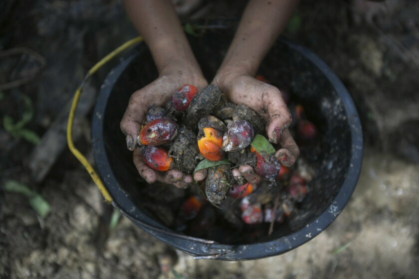 A little girl holds palm oil fruit collected from a plantation in Sumatra, Indonesia