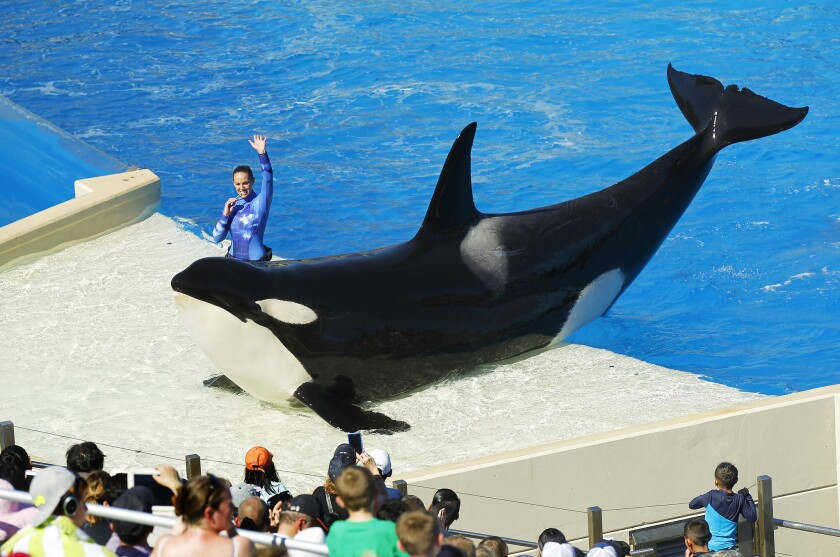 An orca performs during the One Ocean show at SeaWorld San Diego in 2015. Sea World announced that it will end its killer whale breeding program immediately.