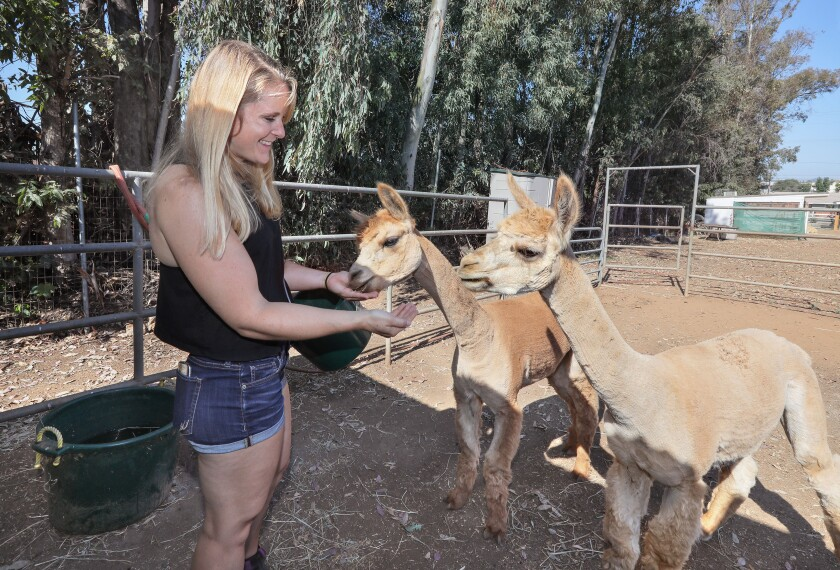 Kelly Thor in her backyard feeding her two alpacas, Bubba, left, and Einstein, at right.