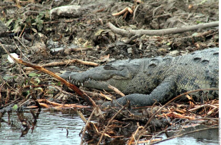 Una amplia zona del manglar fue desmontada en enero con maquinaria pesada en la zona conocida como la Laguna de Nichupté, pese a las objeciones de ambientalistas locales.