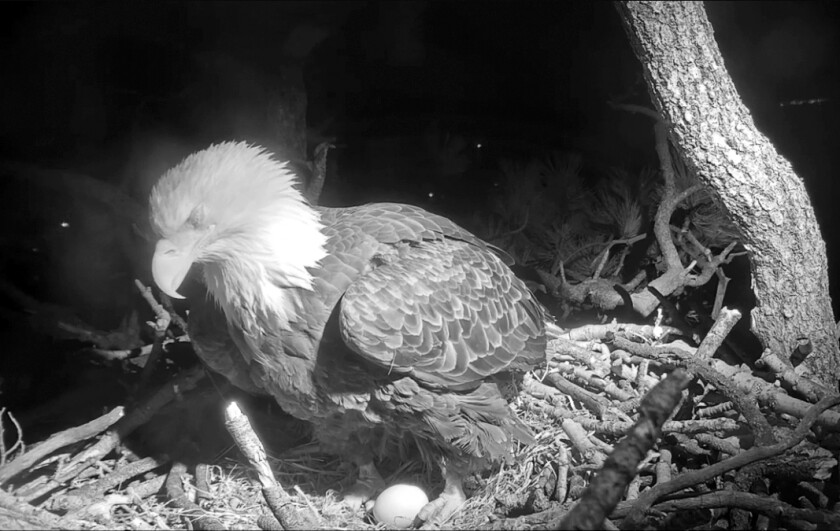 In this Wednesday, Jan. 8, 2020, still image taken from a web cam and provided by Friends of Big Bear Valley, a bald eagle in Southern California has laid an egg in a nest watched by nature lovers via an online live feed. The egg appeared Wednesday evening in a tree overlooking Big Bear Lake east of Los Angeles. The mother nestled over the egg Thursday as a chilly wind blew through the San Bernardino National Forest. Another egg is expected in the next few days. (Friends of Big Bear Valley via AP)