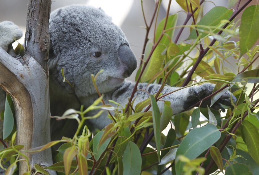 A koala makes itself at home in the new Australian Outback exhibit at the San Diego Zoo.